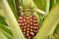 Pineapple Plant. A small pineapple growing on plant stock photo
