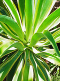 Pineapple plant Royalty Free Stock Photo