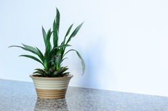 Pineapple Plant. Top of pineapple plant growing in pot royalty free stock photo