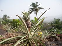 Pineapple Plant Royalty Free Stock Image