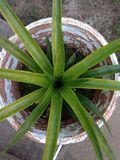 Pineapple Plant. This is a very large pineapple plant in my parent's backyard Stock Image
