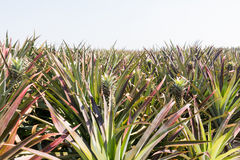 Pineapple plant. Young pineapple tree in plant close up royalty free stock photos