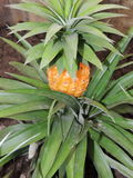 Pineapple plant. A young tropical pineapple plant stock photos