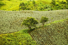 Pineapple plantation Stock Image