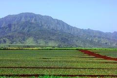 Pineapple plantation Royalty Free Stock Photo