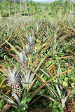 Pineapple plantation Royalty Free Stock Photos