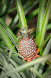 Pineapple Plantation. Close up of Pineapple Plantation Royalty Free Stock Photo