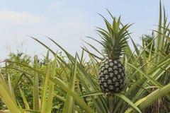 Pineapple plantation Royalty Free Stock Photography