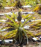 Pineapple plantation Stock Images