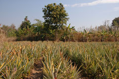 Pineapple plantation. Royalty Free Stock Photos