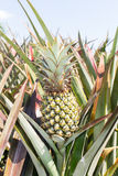 Pineapple Plantation Royalty Free Stock Photography