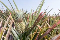 Pineapple Plantation Royalty Free Stock Image