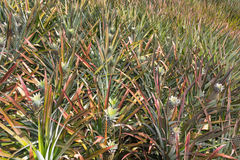 Pineapple plantation Royalty Free Stock Image