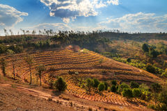 Pineapple plantation Stock Photos