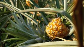 Pineapple Plantation on the Farm of Thailand in Season. Asia stock footage