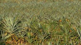 Pineapple Plantation on the Farm of Thailand in Season. Asia stock video footage