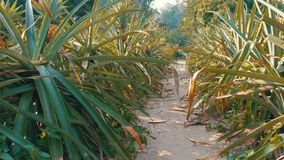 Pineapple Plantation on the Farm of Thailand in Season. Asia stock video