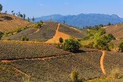 Pineapple plantation Stock Image