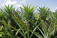 Pineapple Plantation Royalty Free Stock Images