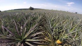 Pineapple plantation. HD Video panning of Pineapple plantation with summer season stock footage
