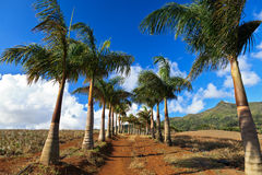 Pineapple plantation in Mauritius Royalty Free Stock Photography