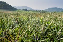 Plantation. Pineapple plantation with mountain background Stock Photos