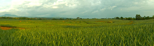 Pineapple Plantation. A panoramic view of a field filled with pineapple plants Stock Photography