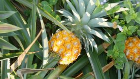 Pineapple plantation with ripe growing pineapple close up view. Pineapple plantation with ripe growing pineapples close up view stock video