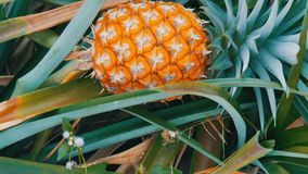 Pineapple plantation with ripe growing pineapple. S stock video footage