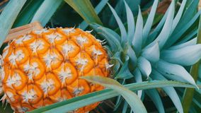 Pineapple plantation with ripe growing pineapple close up view. Pineapple plantation with ripe growing pineapples close stock video footage