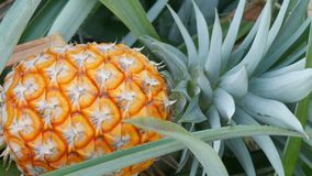 Pineapple plantation with ripe growing pineapple close up view. Pineapple plantation with ripe growing pineapples close up view stock footage
