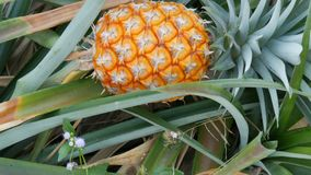 Pineapple plantation with ripe growing pineapple close up view. Pineapple plantation with ripe growing pineapples close up view stock video footage