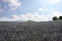 Pineapple plantations. Royalty Free Stock Image