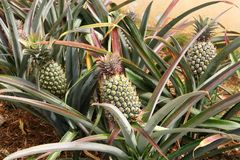 Pineapple plants with green pineapples Royalty Free Stock Photos