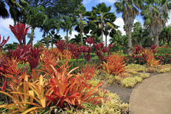 PINEAPPLE PLANTS HAWAII. Pineapple plants adding beautiful color to garden Royalty Free Stock Photography