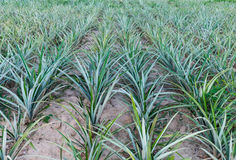 Pineapple plants on pineapples field. In Thailand Stock Image