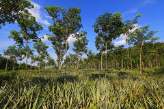 Pineapple and rubber tree plantation Stock Photo