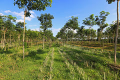 Pineapple and rubber tree plantation Stock Images