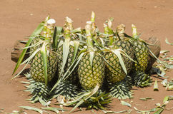 Pineapple for sale Royalty Free Stock Photography