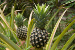 Pineapple. Scientific name: Ananas comosus is a herbaceous plant species that originated from North America Stock Photography