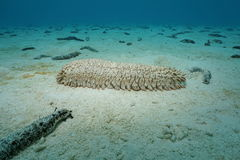 Pineapple sea cucumber Thelenota ananas underwater Royalty Free Stock Images