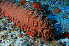 Pineapple sea cucumber Stock Images