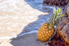 Pineapple in Seashore Leaning on Brown Rock Stock Photos