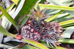 Pineapple in Seychelles Royalty Free Stock Photo
