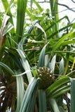 Pineapple on the Seychelles still green Stock Photography