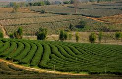 Pineapple and Tea Plantations (Northern Thailand) Stock Photos
