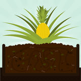 Pineapple tree and compost Royalty Free Stock Image