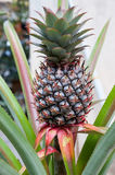Pineapple Tree. Details view of pineapple tree Royalty Free Stock Image