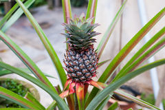 Pineapple Tree. Details view of a pineapple tree Royalty Free Stock Image