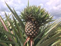Pineapple on tree in the garden. Pineapple on tree in the garden with clouds and bright sky royalty free stock image